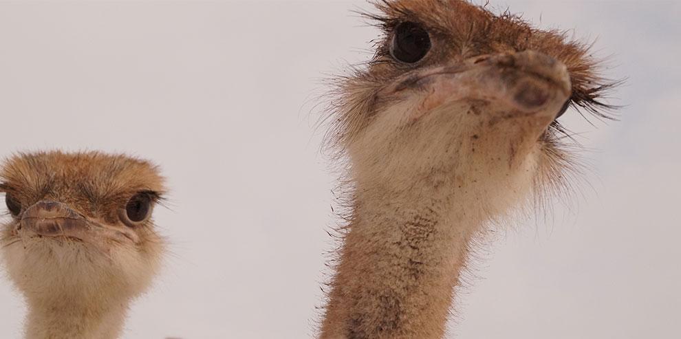Вальсы страуса