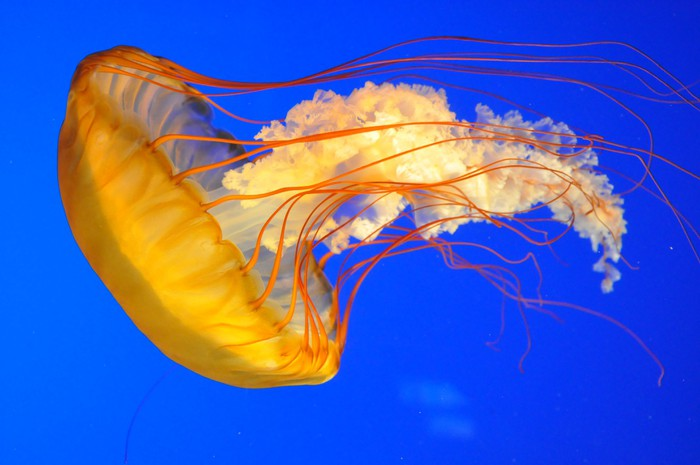 Jellyfish Invasion Essay - Essay Demon