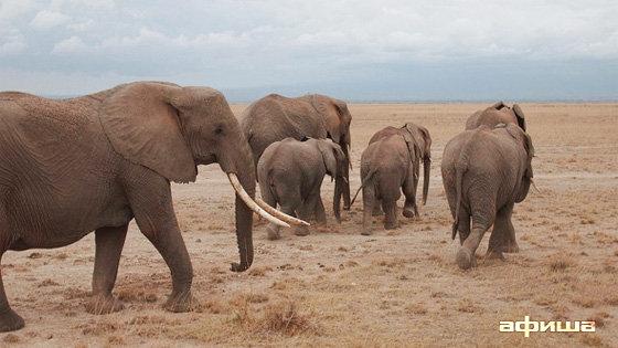 Слоны-пигмеи острова Борнео смотреть фото