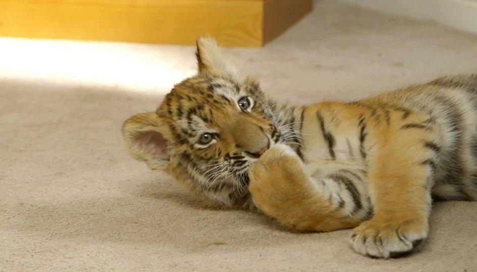 Кино: «Тигриный хвост»