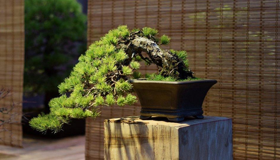 Выставки: Искусство бонсай