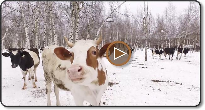 Коровы-москвички